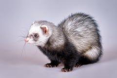 Portrait of sable ferret Stock Image