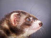 Portrait of sable ferret Royalty Free Stock Photos