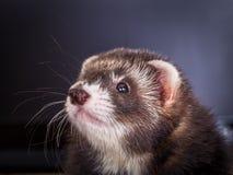 Portrait of sable ferret Stock Photo