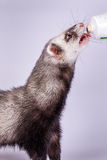 Portrait of sable ferret eating the vitamine paste. Portrait of cute sable ferret eating the vitamine paste, close up view Stock Photos