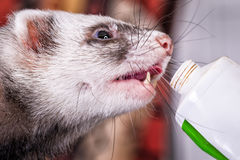 Portrait of sable ferret eating the vitamine paste. Portrait of cute sable ferret eating the vitamine paste, close up view Royalty Free Stock Photo