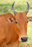 Portrait of the Sacred Cow. Portrait of the Indian sacred cow in the state of Goa in India Royalty Free Stock Photos