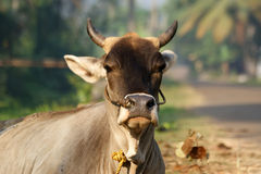 Portrait of the sacred cows of India, Kerala, South India Stock Photos