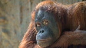 Portrait of sad Asian orangutan Royalty Free Stock Image