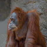 Portrait of sad Asian orangutan Royalty Free Stock Photography
