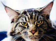 Portrait of sad cat royalty free stock photography