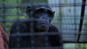 Portrait of a sad chimpanzee behind bars of a zoo cage.