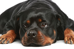 Portrait of a sad dog royalty free stock photography