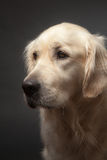 Portrait of Sad Dog Royalty Free Stock Photography