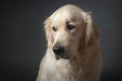 Portrait of Sad Dog Stock Photo