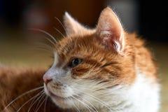 Portrait of a sad European cat Stock Images