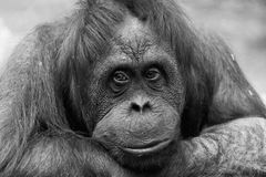 Portrait of a sad female of an orangutan Royalty Free Stock Photos