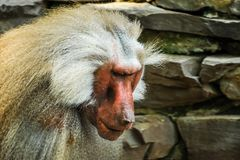 Portrait of male baboon in zoo stock image