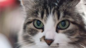 Portrait of a sad gray kitten close up. Clip. Closeup of tabby cat face. Fauna background. Close up view of Gray tabby royalty free stock photo
