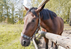 Portrait of a sad horse. Portrait of a sad red old horse against an autumn yellow landscape. Selective focus stock photo