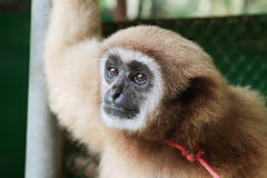 Portrait of a sad looking monkey Stock Images
