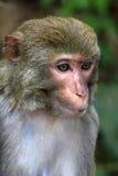 Portrait of the sad monkey Stock Photos