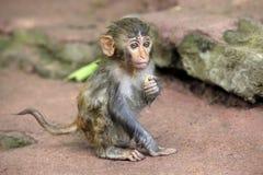 Portrait of the sad monkey. Royalty Free Stock Photo