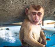 Portrait of the sad monkey Stock Images