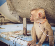 Portrait of the sad monkey Royalty Free Stock Photography