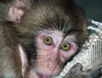 Portrait of sad monkey with bright yellow eyes looking in camera. Royalty Free Stock Photography
