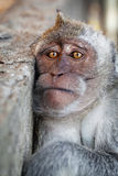 Portrait of a sad monkey. Crab-eating macaque Stock Photography