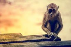 Portrait of the sad monkey. Stock Image