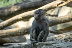 Portrait of monkey sitting alone on the tree. Portrait of a sad monkey sitting alone on the tree in the forest stock photos
