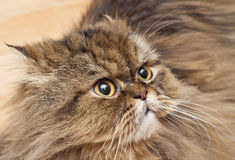 Portrait of a sad Persian cat Stock Photos
