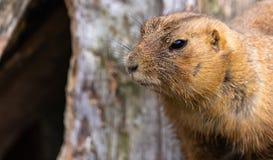 Portrait of a sad prairie dog, scientific name Cynomys. Animal stock photos