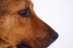 Portrait of a sad red dog of a mongrel against the background of snow Royalty Free Stock Image