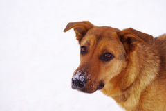 Portrait of a sad red dog of a mongrel against the background of snow Royalty Free Stock Images