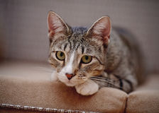 Portrait of a sad thoughtful striped cat. Royalty Free Stock Photography