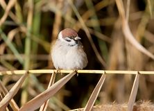 Portrait of a sad tree sparrow sits on the slim reed. Branch Stock Photography