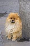 Portrait of sadly Spitz puppy Royalty Free Stock Image