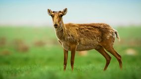 Portrait of a saiga antelope royalty free stock photography