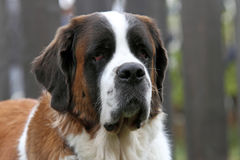 Portrait of Saint Bernard dog Royalty Free Stock Image