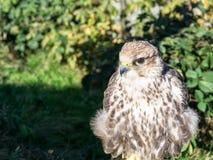 Portrait of saker falcon also known as Falco cherrug. It belongs to birds of prey, raptors stock images