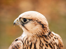 Portrait of saker falcon Royalty Free Stock Photo