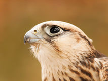 Portrait of saker falcon Royalty Free Stock Images