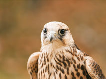 Portrait of saker falcon Stock Image