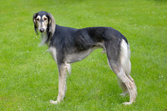 The portrait of Saluki dog Stock Image