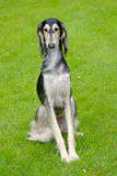 The portrait of Saluki dog on a green grass lawn Royalty Free Stock Photo