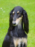 The portrait of Saluki dog on a green grass lawn Stock Photos