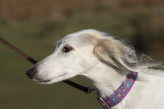 Portrait of a saluki Royalty Free Stock Photography