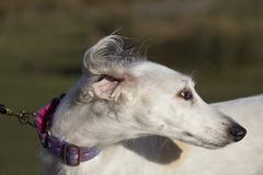 Portrait of a saluki Stock Images