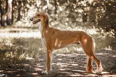 Portrait of a saluki in park Stock Images