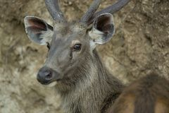 Portrait of a Sambar Deer Stock Photos
