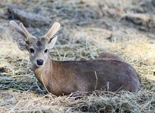 Portrait of Sambar Deer. Thailand Stock Image