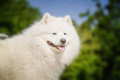 Portrait of Samoyed closeup. Sled dogs. Royalty Free Stock Photography